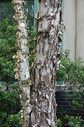 Dura Heat River Birch (Betula nigra 'Dura Heat') at River Street Flowerland