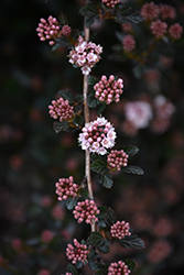 Little Devil™ Ninebark (Physocarpus opulifolius 'Donna May') at River Street Flowerland