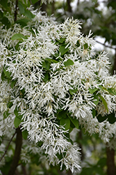 Chinese Fringetree (Chionanthus retusus) at River Street Flowerland