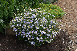 Blue Star Japanese Aster (Kalimeris incisa 'Blue Star') at River Street Flowerland