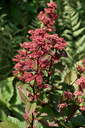 Bronze Peacock Rodgersia (Rodgersia 'Bronze Peacock') at River Street Flowerland