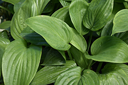 Humpback Whale Hosta (Hosta 'Humpback Whale') at River Street Flowerland