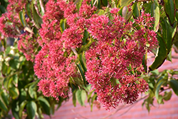Seven-Son Flower (Heptacodium miconioides) at River Street Flowerland
