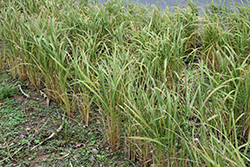 Asian Rice (Oryza sativa) at River Street Flowerland