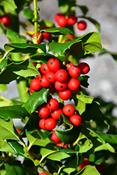 China Girl Meserve Holly (Ilex x meserveae 'China Girl') at River Street Flowerland