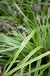 EverColor® Everlime Japanese Sedge (Carex oshimensis 'Everlime') at River Street Flowerland