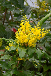 Oregon Grape (Mahonia aquifolium) at River Street Flowerland