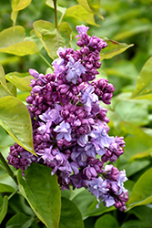 Katherine Havemeyer Lilac (Syringa vulgaris 'Katherine Havemeyer') at River Street Flowerland