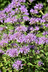 Blue Stocking Beebalm (Monarda didyma 'Blue Stocking') at River Street Flowerland
