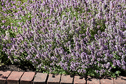 Common Thyme (Thymus vulgaris) at River Street Flowerland