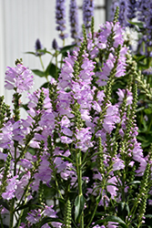 Pink Manners Obedient Plant (Physostegia virginiana 'Pink Manners') at River Street Flowerland