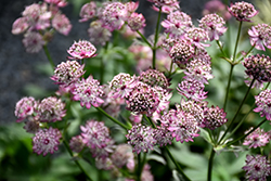 Abbey Road Masterwort (Astrantia major 'Abbey Road') at River Street Flowerland