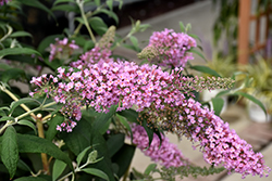 Pink Delight Butterfly Bush (Buddleia davidii 'Pink Delight') at River Street Flowerland
