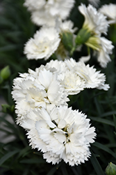 Early Bird™ Frosty Pinks (Dianthus 'Wp10 Ven06') at River Street Flowerland