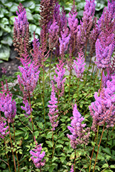 Purple Candles Astilbe (Astilbe chinensis 'Purple Candles') at River Street Flowerland