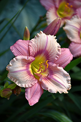 Happy Ever Appster® Stephanie Returns Daylily (Hemerocallis 'Stephanie Returns') at River Street Flowerland