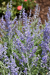 Lacey Blue Russian Sage (Perovskia atriplicifolia 'Lacey Blue') at River Street Flowerland