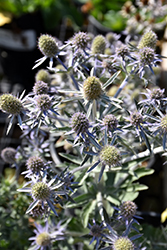 Blue Hobbit Sea Holly (Eryngium planum 'Blue Hobbit') at River Street Flowerland