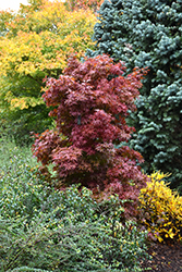 Twombly's Red Sentinel Japanese Maple (Acer palmatum 'Twombly's Red Sentinel') at River Street Flowerland