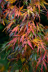 Cutleaf Japanese Maple (Acer palmatum 'Dissectum') at River Street Flowerland