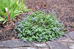 Early Bird Catmint (Nepeta 'Early Bird') at River Street Flowerland