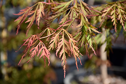 Ice Dragon™ Maple (Acer 'IsliD') at River Street Flowerland