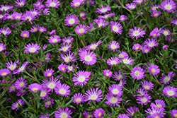 Wheels of Wonder™ Violet Wonder Ice Plant (Delosperma 'WOWDRW5') at River Street Flowerland