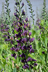 Grape Taffy False Indigo (Baptisia 'Grape Taffy') at River Street Flowerland