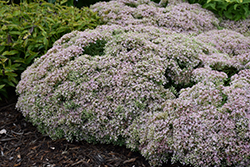 Rock 'N Round™ Pure Joy Stonecrop (Sedum 'Pure Joy') at River Street Flowerland