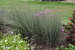 Prairie Winds® Blue Paradise Little Bluestem (Schizachyrium scoparium 'Blue Paradise') at River Street Flowerland