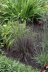 Smoke Signal Little Bluestem (Schizachyrium scoparium 'Smoke Signal') at River Street Flowerland