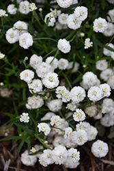 Peter Cottontail Yarrow (Achillea ptarmica 'Peter Cottontail') at River Street Flowerland