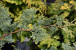 Gimborn Beauty Hinoki Falsecypress (Chamaecyparis obtusa 'Gimborn Beauty') at River Street Flowerland