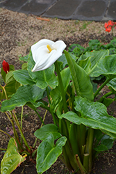 Calla Lily (Zantedeschia aethiopica) at River Street Flowerland